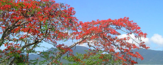 Poinciana i North Queensland, Australien.