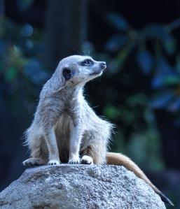 Meerkat på Melbourne Zoo.