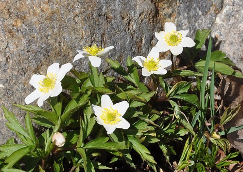 Vitsippa (Anemone nemorosa)