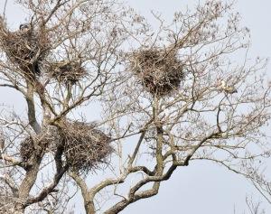 Bona är glest byggda av grenar och kvistar.