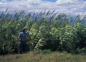 Arundo donax. Bild från Wikipedia