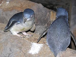 andrew2-penguins
